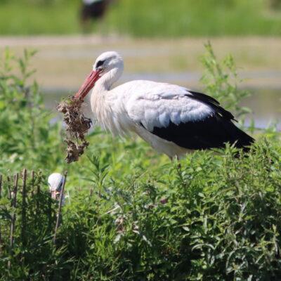cicogna bianca che riassetta il nido, Racconigi, di Osvaldo Murro