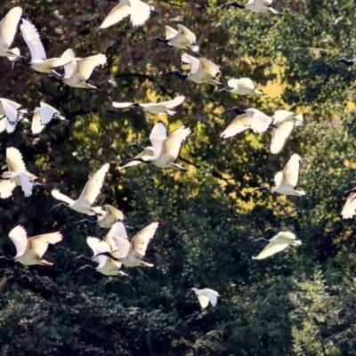Ibis Sacro, Bassa Novarese, di Osvaldo Murro