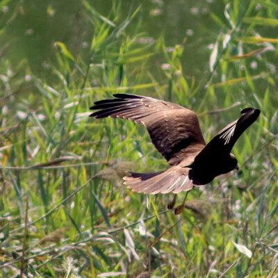Falco di Palude, Bassa Novarese, di Osvaldo Murro